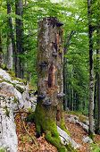 picture of ecosystem  - Large standing dead tree full of wood decay fungi is important part of forest ecosystem - JPG