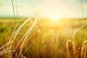 stock photo of macro  - Beautiful summer landscape with grass in the field at sunset - JPG