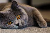 Cat breed British Shorthair Blue