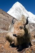 stock photo of yaks  - Yak on the way to Everest base camp and mount Pumo ri  - JPG