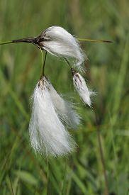 picture of boggy  - Common Cotton-Grass - Eriophorum angustifolium Plant of Boggy grassland - JPG