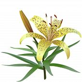 picture of yellow buds  - Photorealistic illustration of yellow tiger lily isolated on white background - JPG