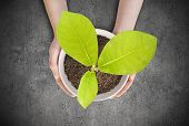 picture of magnolia  - Pot magnolia in female hands - JPG