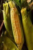 picture of corn stalk  - Raw Organic Yellow Seet Corn Ready to Cook - JPG