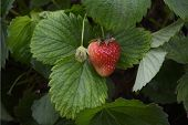 pic of strawberry plant  - A fresh strawberry plant bearing a ripe berry and forming a fresh green one - JPG