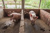 pic of piglet  - piglets at farm - JPG