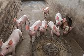 stock photo of piglet  - piglets at farm - JPG