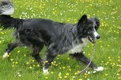 picture of border collie  - Blue merle border collie playing happily outside with her chew toy - JPG