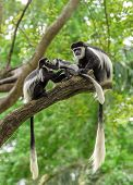 foto of rainforest  - Family of black and white colobus monkeys sitting on a tree in rainforest - JPG