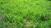 stock photo of marsh grass  - Fresh green leaves of spring grass dandelions sunset - JPG