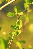 foto of alder-tree  - young leaves of alder in the spring