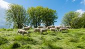 image of dike  - Group newly shorn sheep walks and eats at the top of the dike between the long grass - JPG