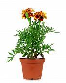 stock photo of marigold  - Orange Marigold plant in pot isolated over white background - JPG