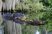image of alligator  - American Alligator in the Bayous of Louisiana - JPG