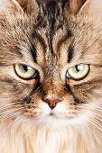 Retrato de gato siberiano
