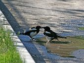 Two Magpies Kissed.
