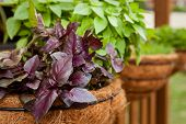 Opal Basil Herb In Hanging Basket