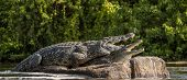 Постер, плакат: Mating Nile Crocodile crocodylus Niloticus Two Crocodiles With Opened Mouth