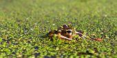 image of winnebago  - Northern Leopard Frog  - JPG