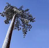 Big Pine Tree poster
