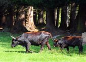 The Auroch also Urus - Bos Primigenius. Very rare wild European Buffalo living only in a Czech Natio
