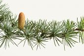 Fresh Green Branch Of A Fir Tree With Cone