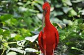 stock photo of scarlet ibis  - Scarlet Ibis  - JPG