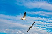 Freedom Concept, Two White Seagull Soaring In The Blue Sky In Miami. poster