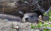 image of groundhog day  - groundhog in den next to a group of fallen logs - JPG