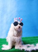 A Maltese Dog wears her Princess Crown. Dog Studio Portrait. Princess dog.  poster