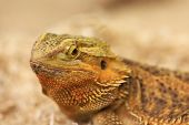 Bearded Dragon Looking In The Camera With Vigilance. Best Portrait Of Bearded Dragon Or Pogona Repti poster