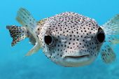Giant Porcupine Pufferfish