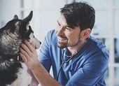 Veterinarian Is Examining A Cute Siberian Husky At Hospital. poster