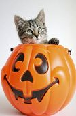 Kitty In Pumpkin