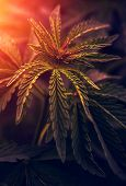 Bush Marijuana On Blurred  Background. Bush Cannabis. poster