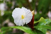 White Tropical Flower On Green Branch With Buds. White Flower On Green Branch. White Orchid Closeup. poster