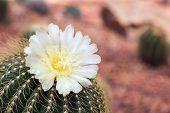 Cactus Flower In Desert Botanical Garden. Cactus Flower For Decoration. Cactus Flower In A Planter.  poster