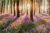 Beautiful Woodland Bluebell Forest In Spring. Purple And Pink Flowers Under Tree Canopys With Sunris poster