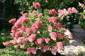 Bush Of A Hydrangea Paniculata During Flowering Are A Garden Ornament. poster