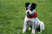 Heeler Pup