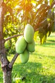 Mangoes On The Tree,fresh Fruits Hanging From Branches,bunch Of Green And Ripe Mango poster