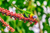 Rainbow lorikeet bird parrot eating flower buds off tree branch in nature wilderness park in Sydney, poster