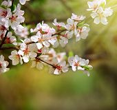 Flowering Branches In The Sun. Sunrise In The Cherry Orchard. Spring Came. Nature Woke Up. Cherry Bl poster