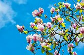 Spring Season Concept. Magnolia Tree In Blossom On Blue Sky. Flowers Blossoming With Violet Petals O poster