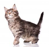 Maine Coon kitten 2 months old. Cat isolated on white background. Portrait of beautiful domestic kit poster