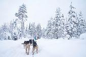 A Winter Activity In Rovaniemi, Finland - Husky Sledding/husky Safari. poster