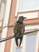 Rook (corvus Frugilegus) Is Sitting On A Wire