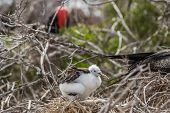 Frigatebird on Galapagos islands. Juvenile Magnificent Frigate-bird chick in birds nest, North Seymo poster