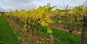 Vineyard In England. Vineyard In The Weald In Kent In England. Autumn Vines. Rows Of Grapevines In A poster