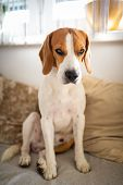 Portrait Of Purebred Beagle Dog Sitting On Couch In Living Room And Looking At Camera. poster